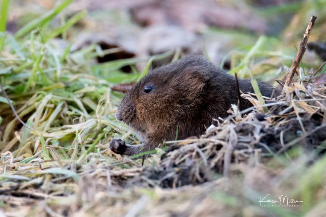 watervole_Jan18-png_c-9181