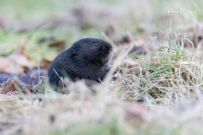 watervole_Jan18-png_c8599