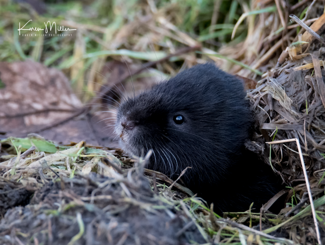 watervole_Jan18_png_c-8979