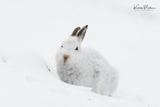 21-sitting-hare