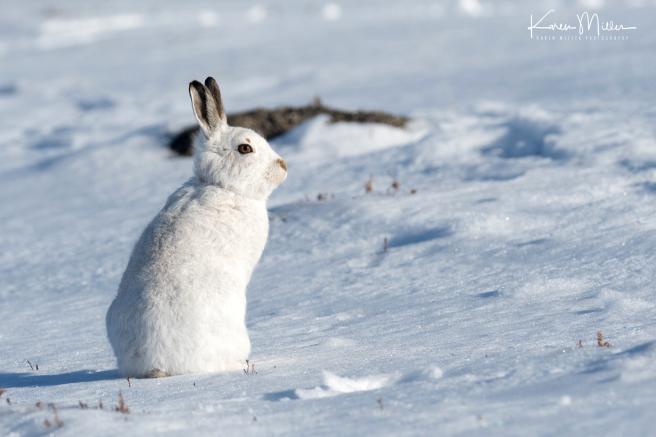 24-sitting-hare