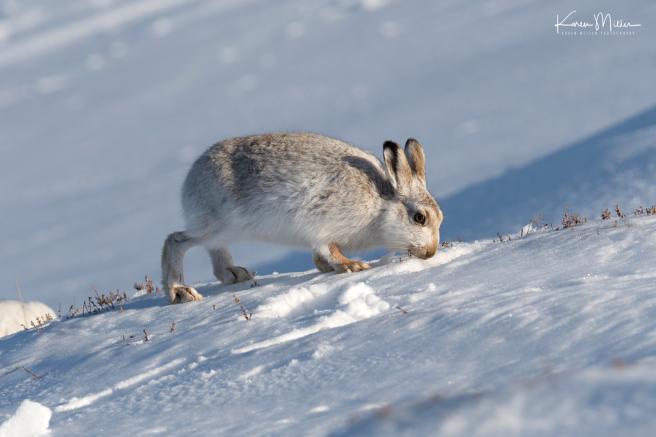 41-feeding-hare