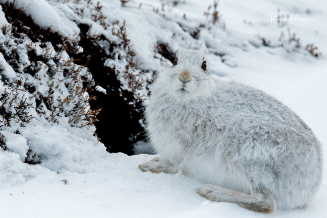 highlands_mountainhares9March-png_c_6751