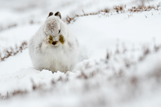 mountainhare4march-png_c_1784