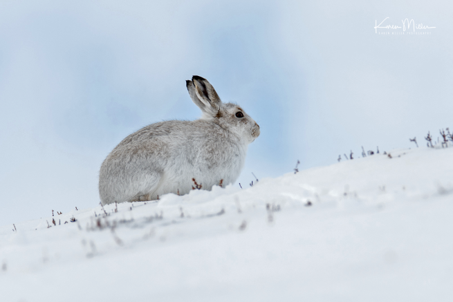 mountainhares_7march-png_c_4660