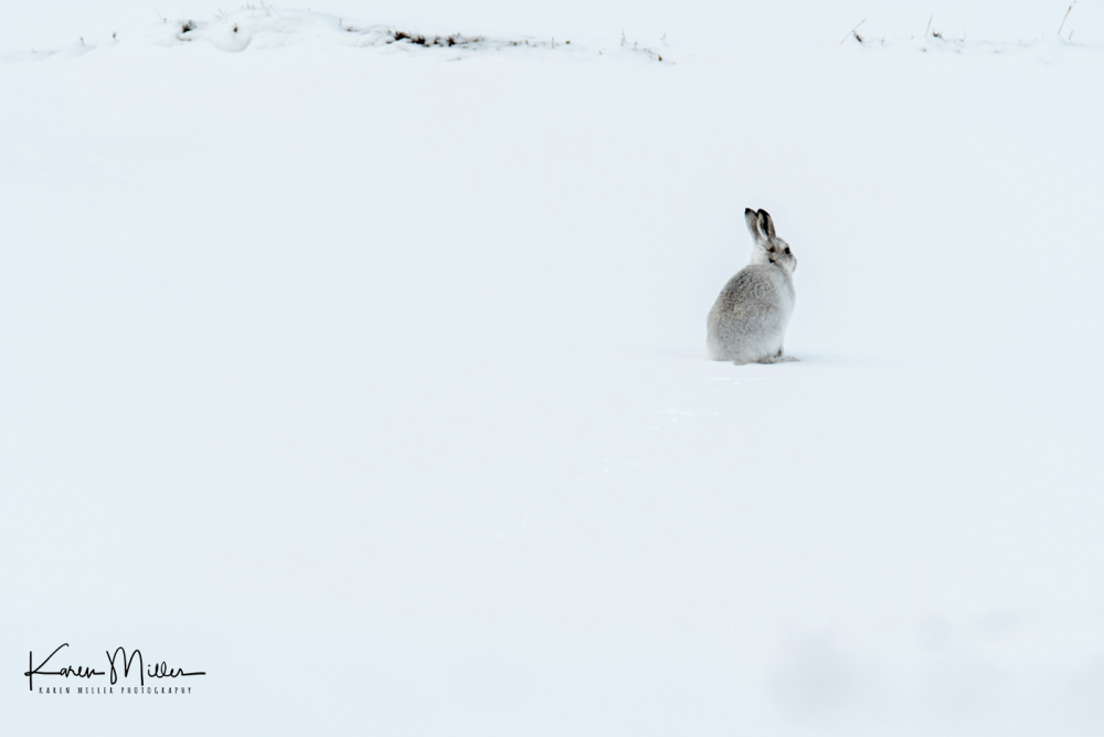 mountainhares_7march-png_c_4665