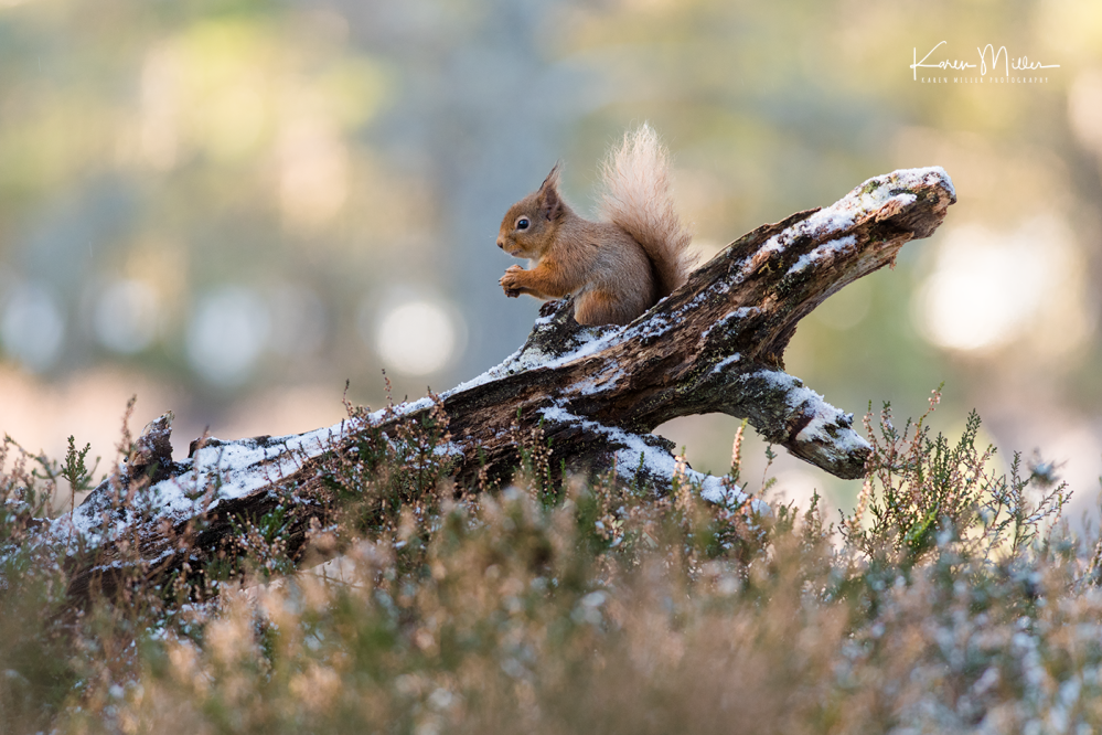 redsquirrelsD500_7march-png_c_3617
