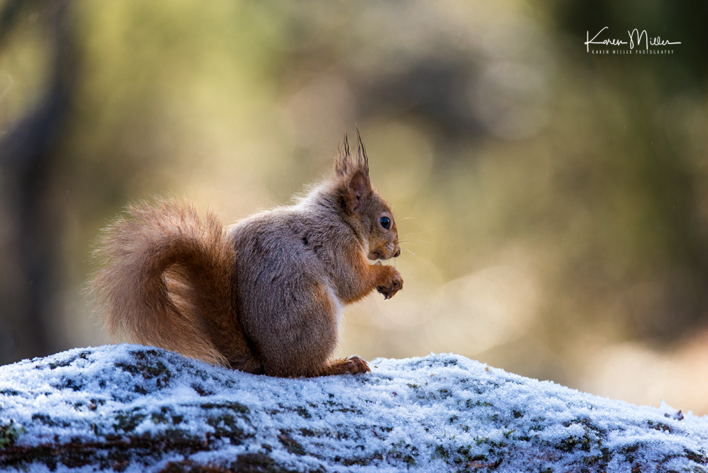 redsquirrelsD610_7march-png_c_0233