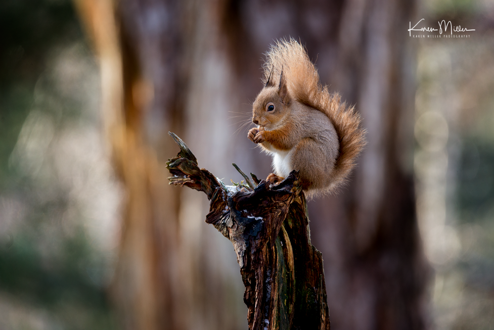 redsquirrelsD610_7march-png_c_0267