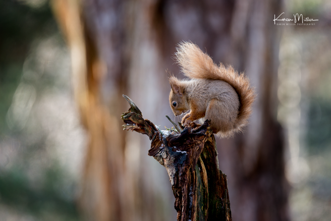 redsquirrelsD610_7march-png_c_0272