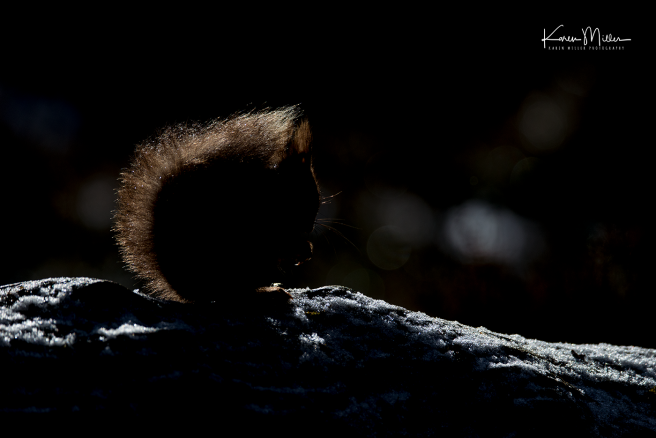 redsquirrelsD610_7march-png_c_0545