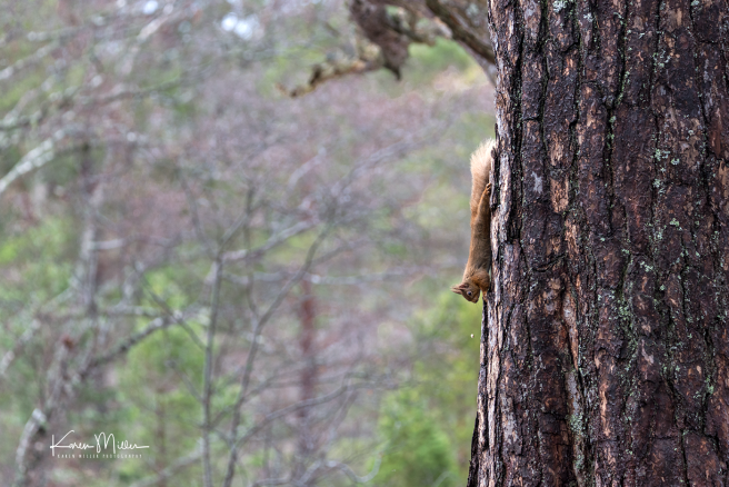 redsquirrelsD610_7march-png_c_0744