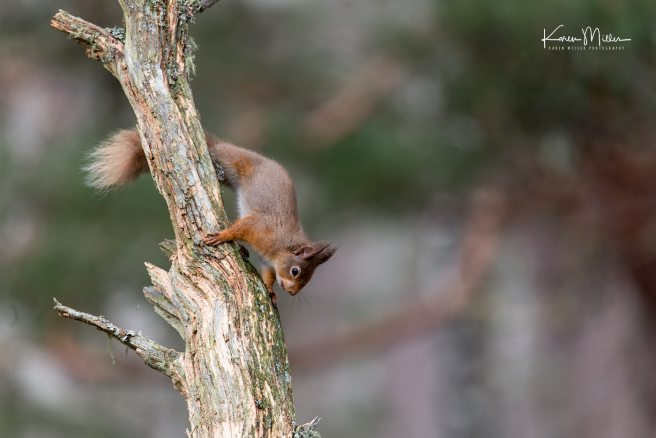 redsquirrelsD610_7march-png_c_0770