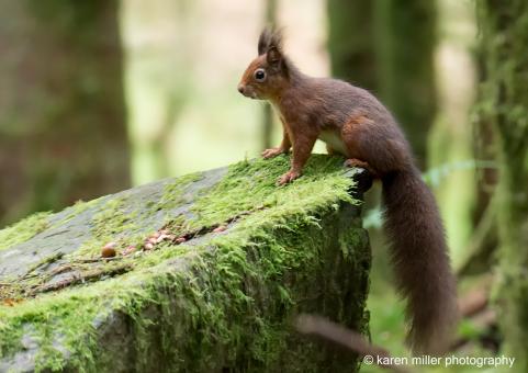 AberfoyleSquirrel-5