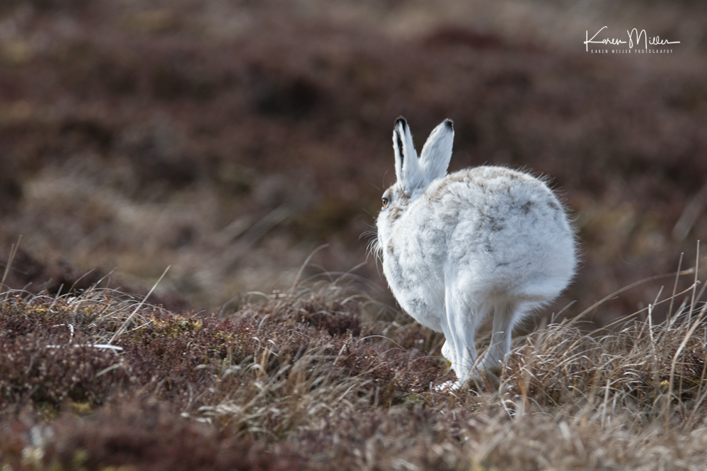 mountainhare_april2018_sat-png_c_0087