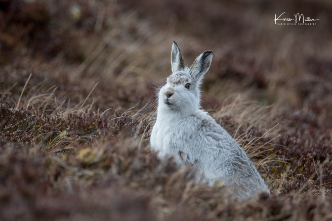 mountainhare_april2018_sat-png_c_0167