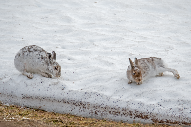 mountainhare_april2018_sat-png_c_0461