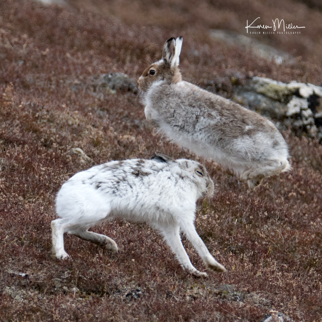 mountainhare_april2018_sat-png_c_0560_square