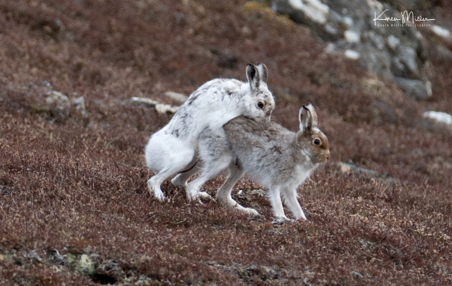 mountainhare_april2018_sat-png_c_0580
