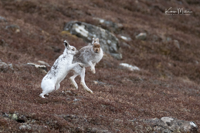 mountainhare_april2018_sat-png_c_0583