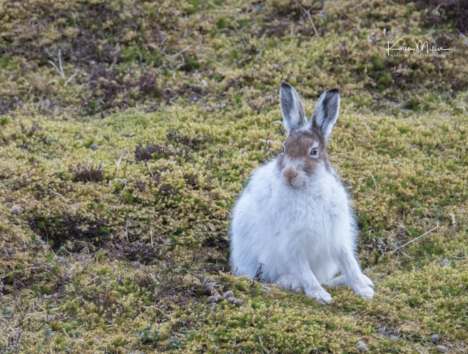 mountainhare_april2018_sat-png_c_0596