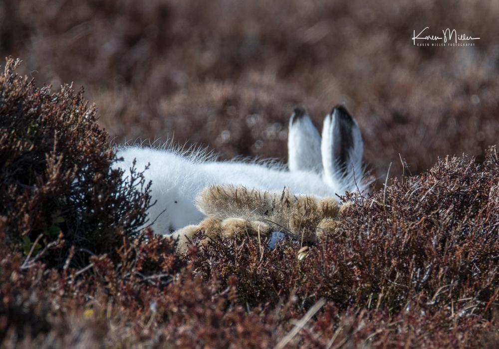 mountainhare_april2018_sat-png_c_9611