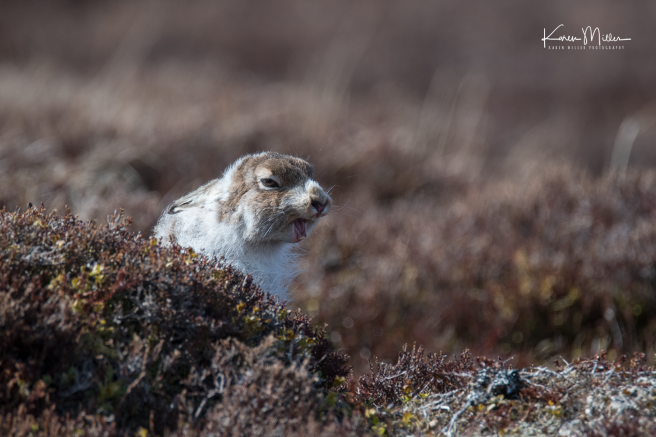 mountainhare_april2018_sat-png_c_9617