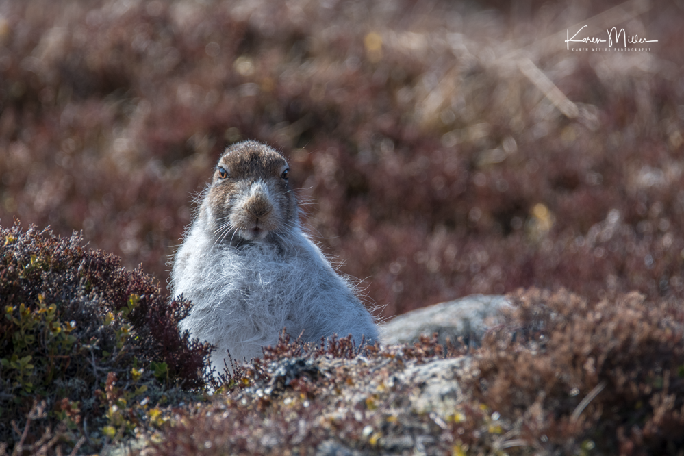 mountainhare_april2018_sat-png_c_9634