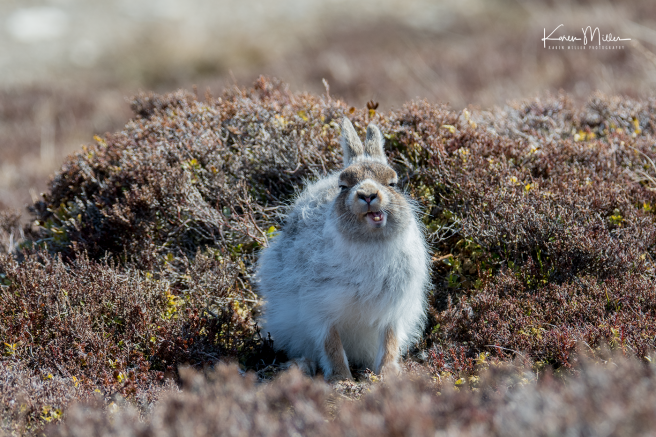 mountainhare_april2018_sat-png_c_9725