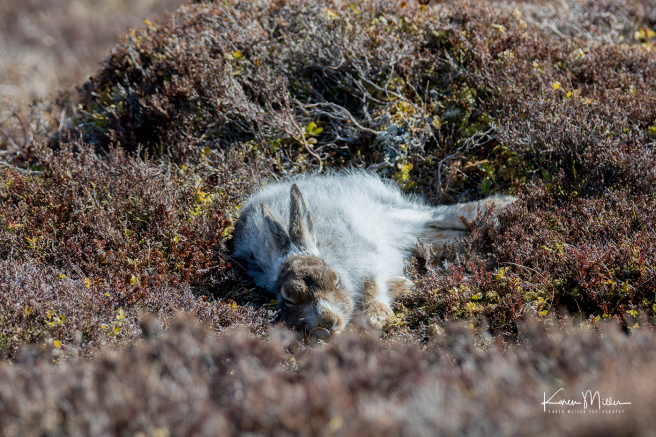 mountainhare_april2018_sat-png_c_9771_2