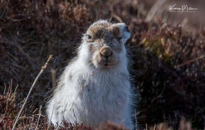 mountainhare_april2018_sun-png_c_0666