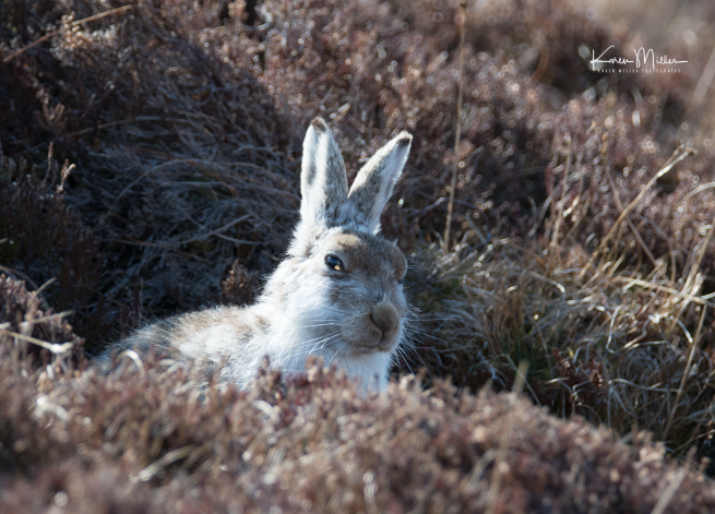 mountainhare_april2018_sun-png_c_0729