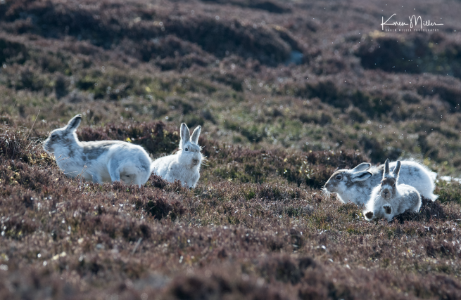 mountainhare_april2018_sun-png_c_1287