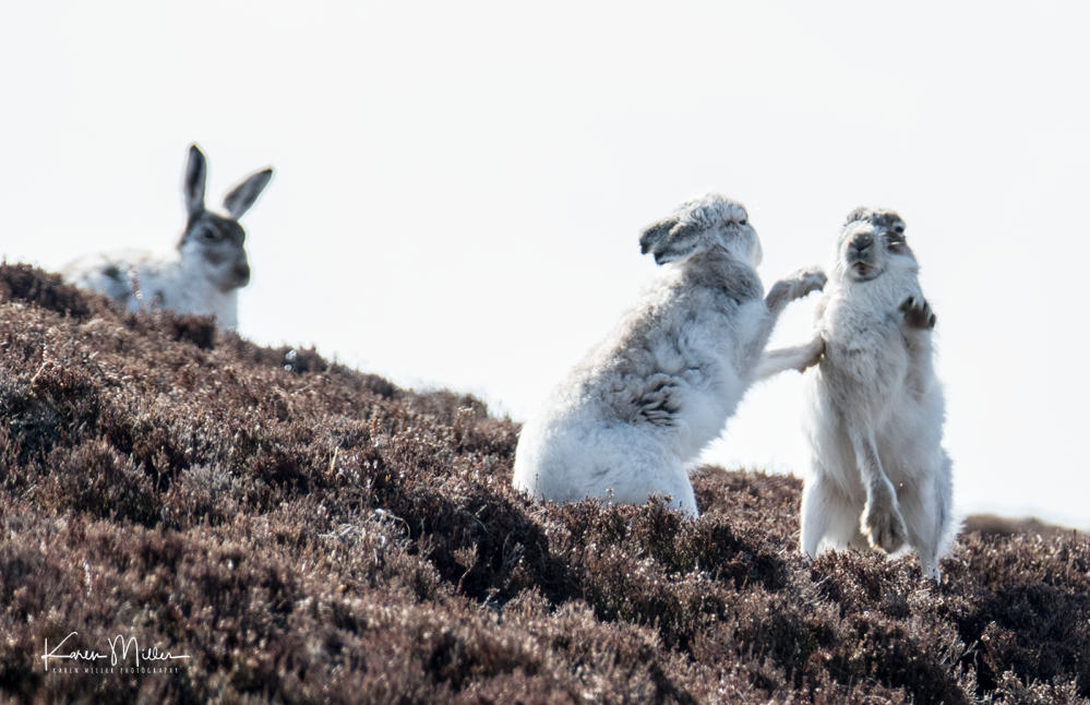 mountainhare_april2018_sun-png_c_1348