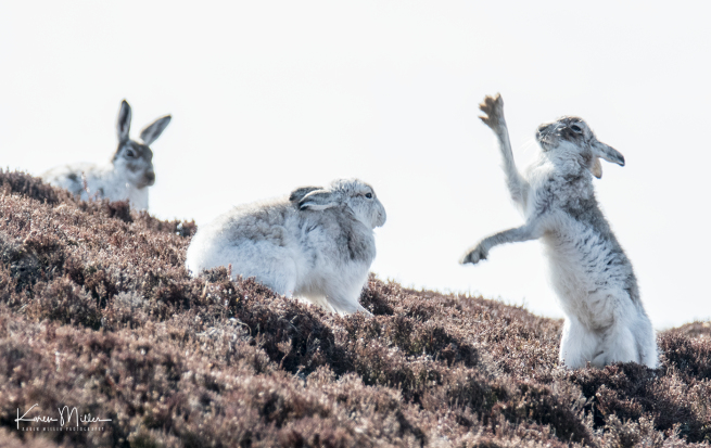 mountainhare_april2018_sun-png_c_1352