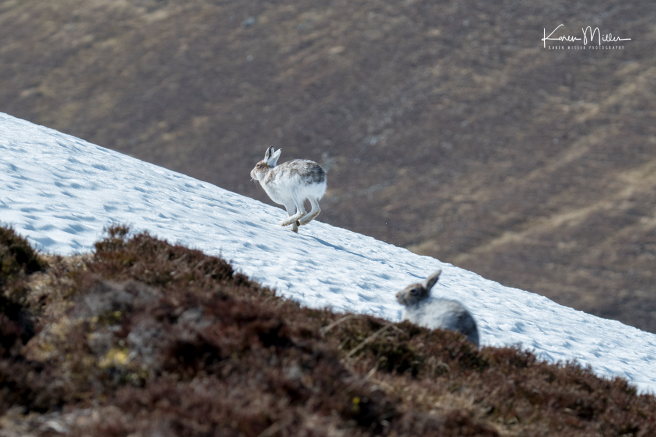 mountainhare_april2018_sun-png_c_1542