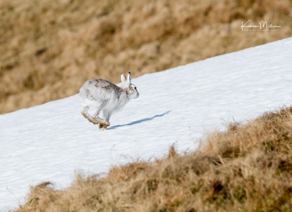 mountainhare_april2018_sun-png_c_1762