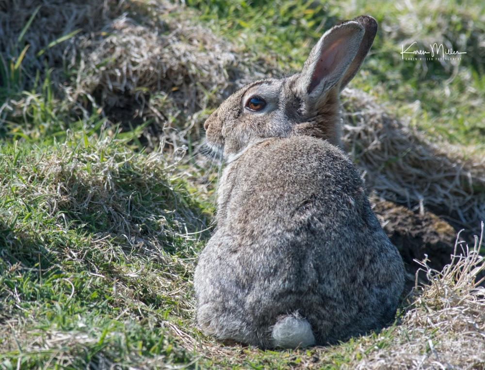 IsleOfMay-rabbit_jpg_c_6524
