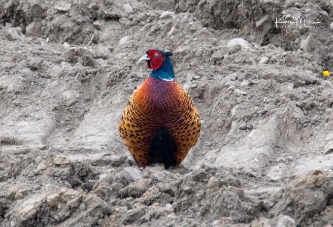 Bamff-pheasant_jpg_c_7169