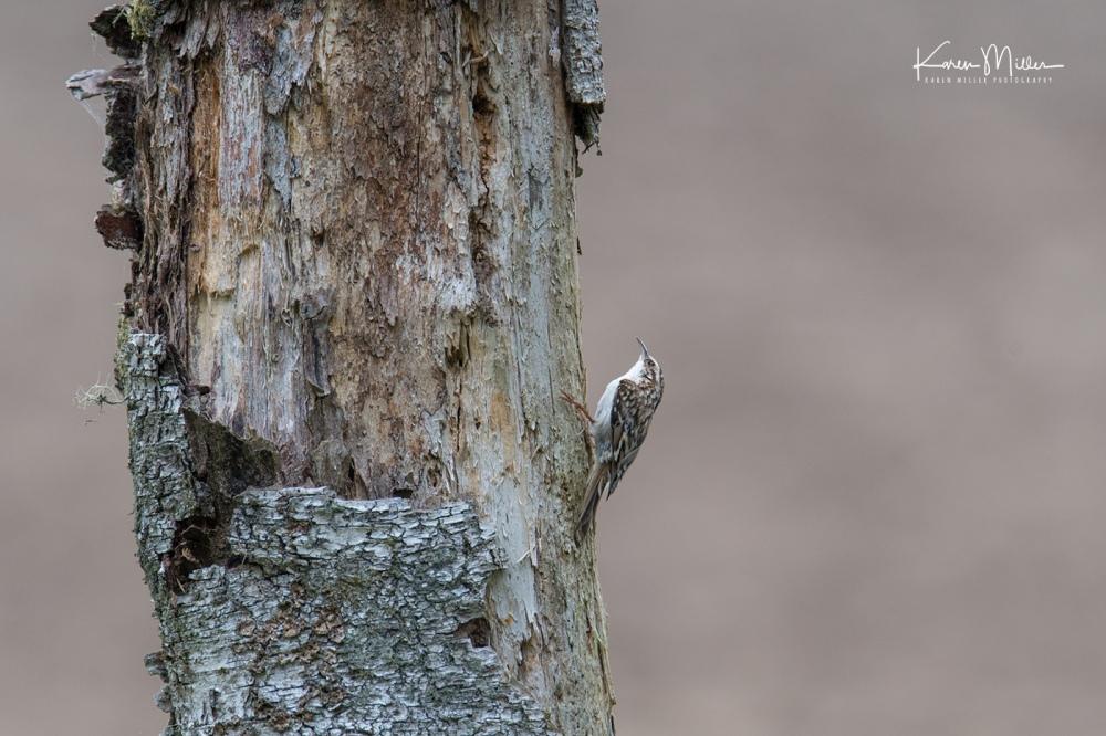 Bamff-treecreeper_jpg_c_7453
