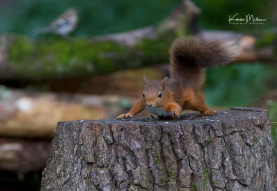 Perthshire_30July_RedSquirrel_png_c-0365