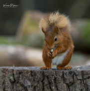 Perthshire_30July_RedSquirrel_png_c-6536