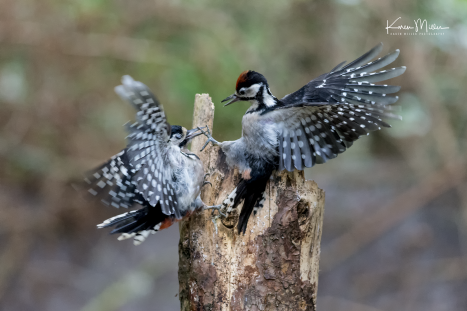 perthshire_30July_woodpecker_png_c_5669-6349