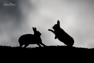 Silhouettes of two mountain hares boxing on the horizon in October 2018