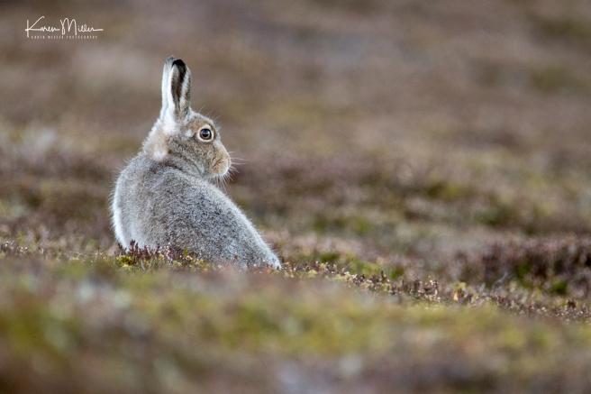 Mountain Hare Yawning  (Lepus timidus)