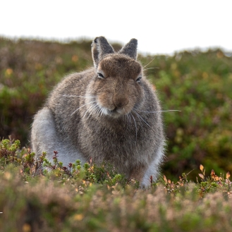 Mountain hare in the Scottish Highlands, October 2018