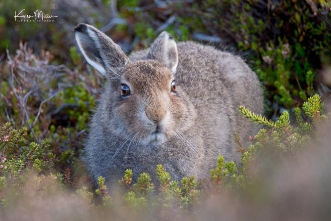Mountain Hare Leveret (Lepus Timidus)