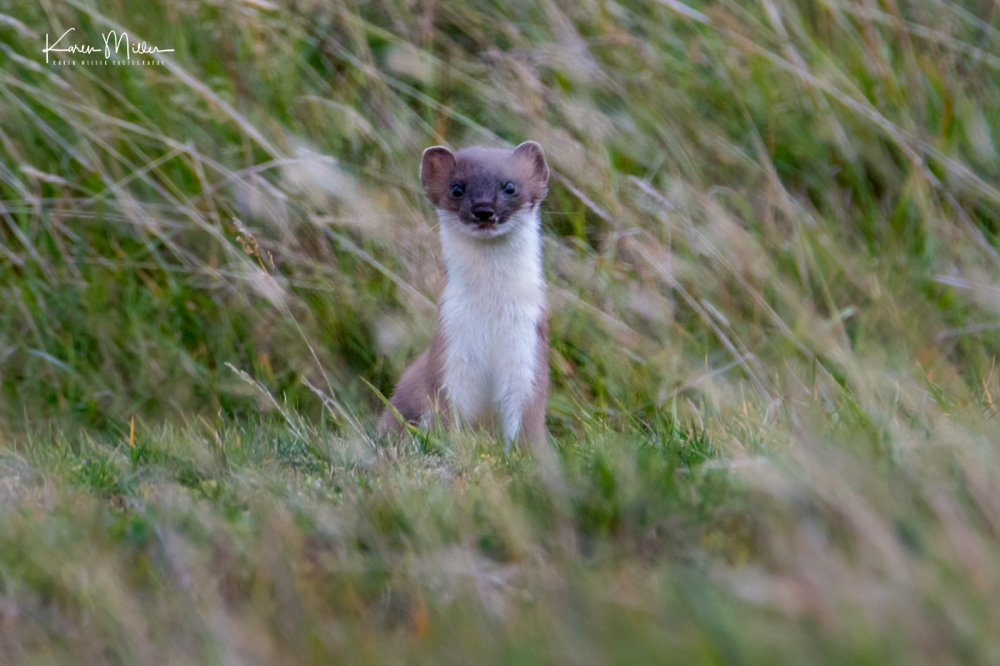 Stoat_Oct18-jpg_c_5532