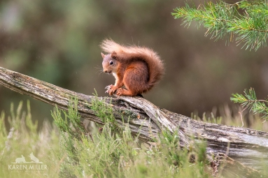 Red Squirrel, Scottish pine forest, Black Isle