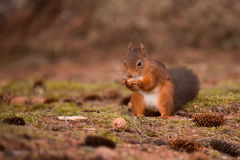 HighlandsOct2016_RedSquirrel_png_1400px_c_old-22
